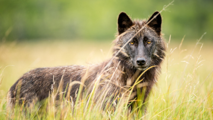 Save BC Wolves